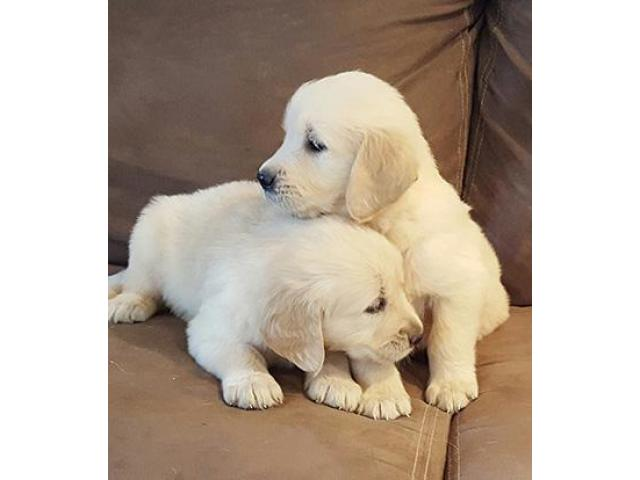 Adorable Golden Retrievers puppies Toronto Ontario
