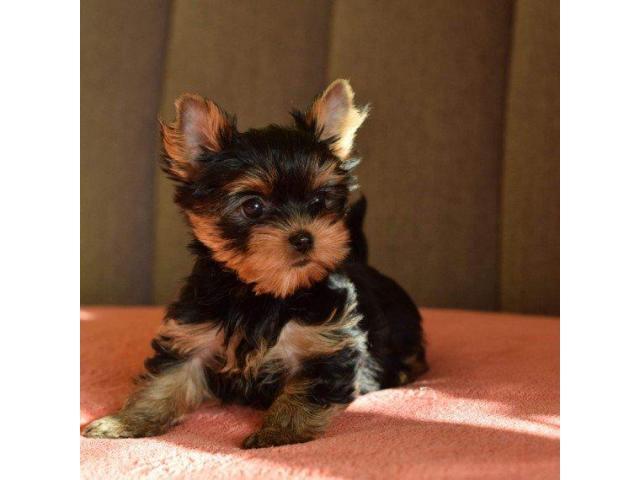 Portable Tiny Yorkie Puppies for sale Montréal Québec
