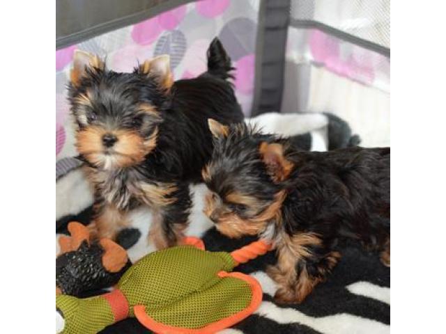 home raised Yorkie Puppies Calgary Alberta