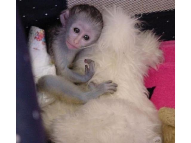 HOME TRAINED BABY CAPUCHIN MONKEYS FOR SALE Belleville Ontario