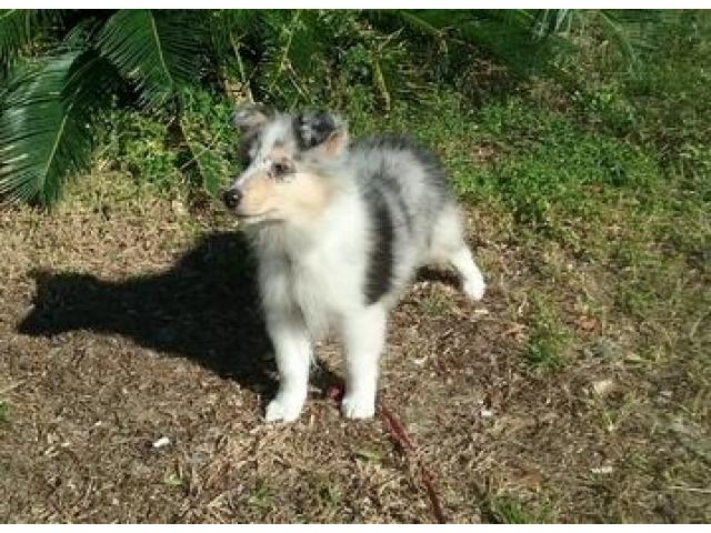 Collie Puppies Available Yellowknife Northwest Territories