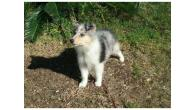Collie Puppies Available